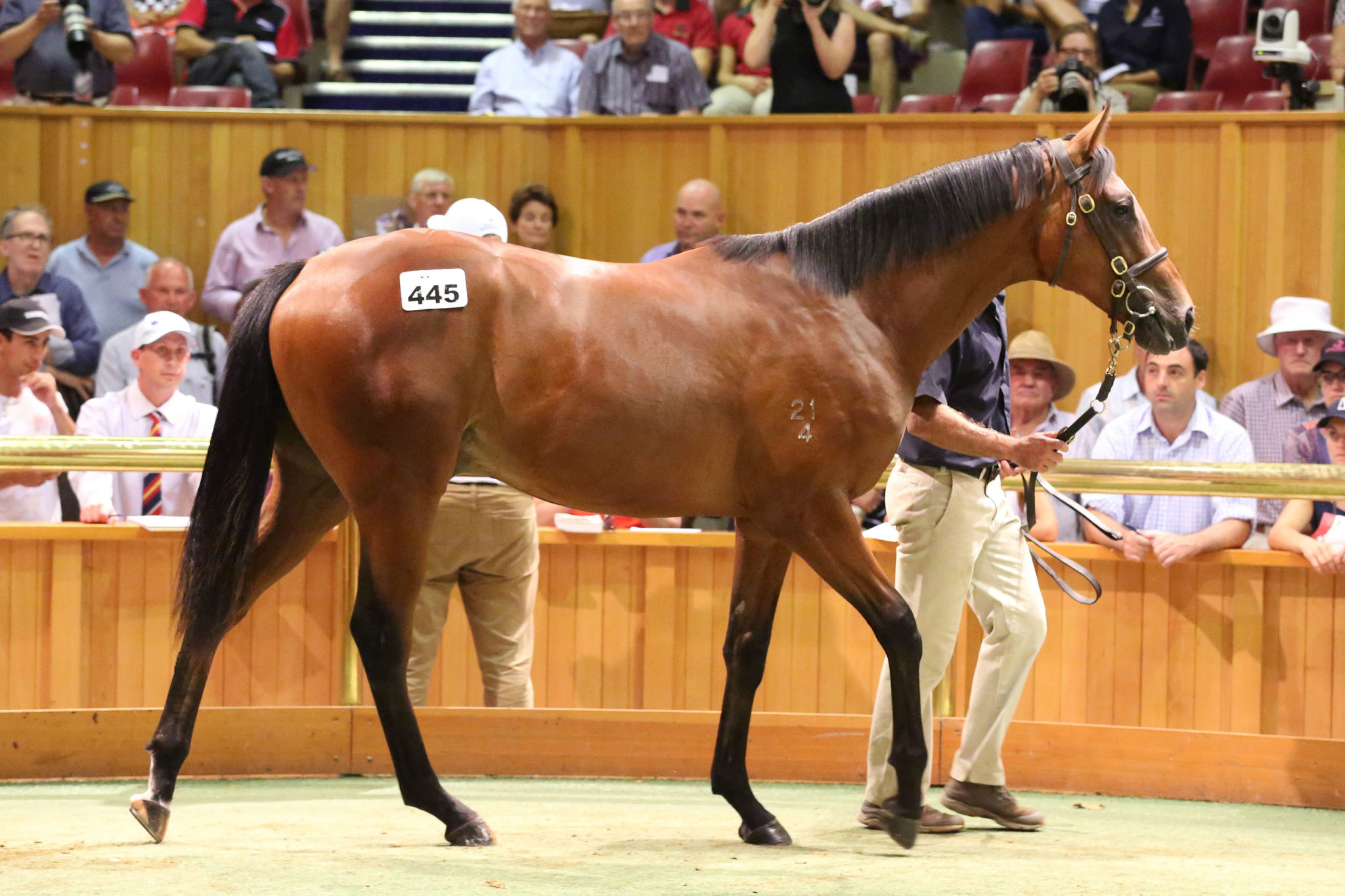 Lot 445 Frankel x Our Echezeaux 26 01 2016 GEN Karaka Yearling Sales Sarah Ebbett 664