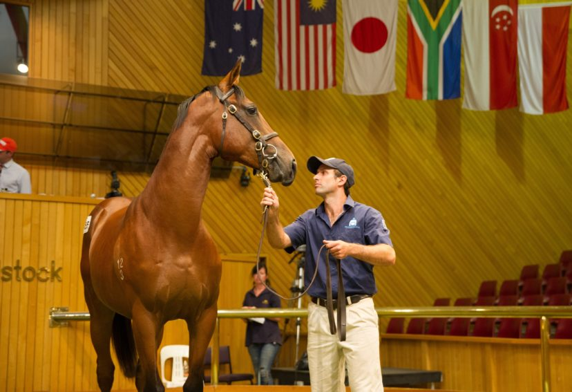 Karaka Lot 155 O Reilly x Salkantay Colt Pencarrow Stud 26 01 15 Day One Premier Sharon Chapman 0626